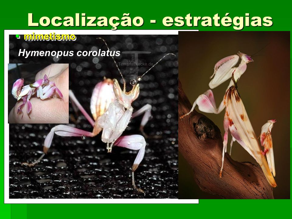 mimetismo Hymenopus corolatus