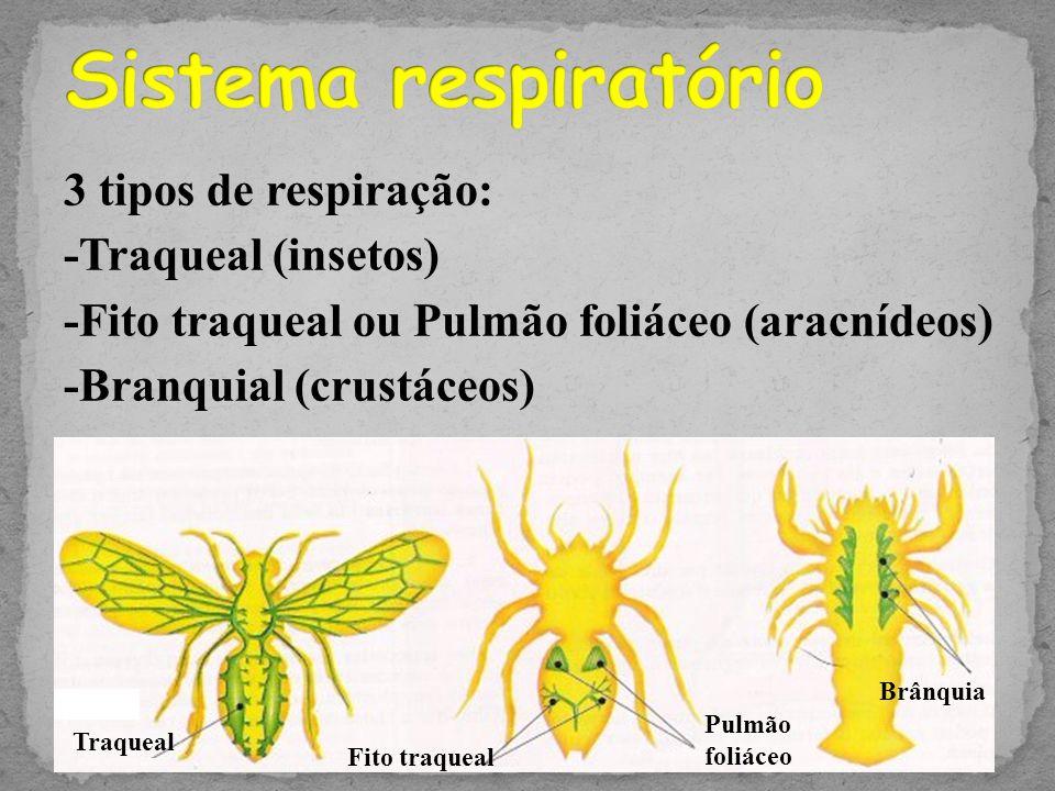 Sistema respiratório 3 tipos de respiração: -Traqueal (insetos) -Fito traqueal ou Pulmão foliáceo (aracnídeos) -Branquial (crustáceos)
