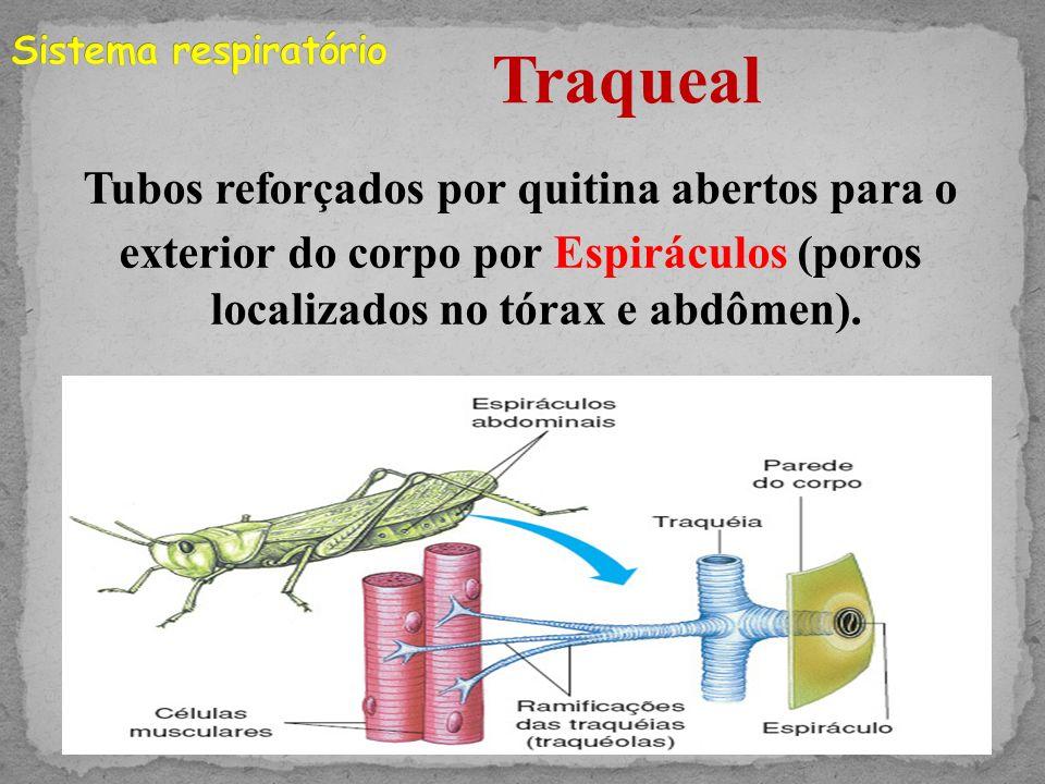 Sistema respiratório Traqueal.