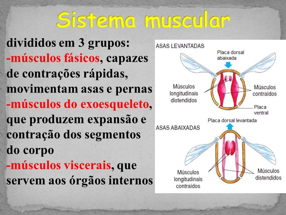 Sistema muscular divididos em 3 grupos: