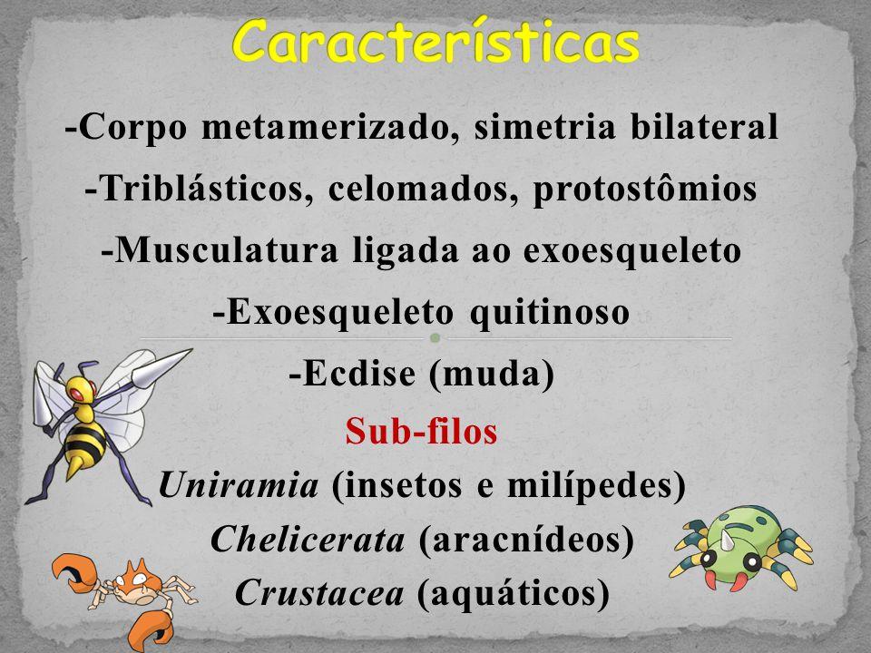 Características -Corpo metamerizado, simetria bilateral