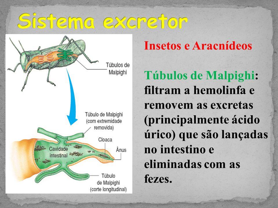 Sistema excretor Insetos e Aracnídeos