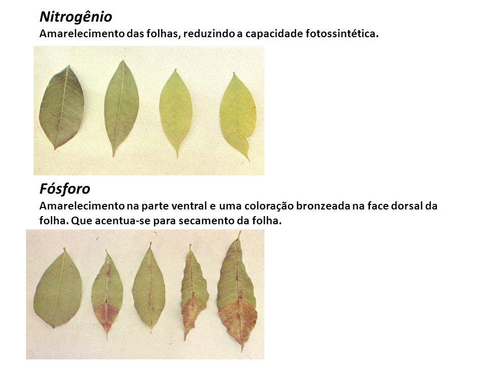 Nitrogênio Amarelecimento das folhas, reduzindo a capacidade fotossintética. Fósforo.