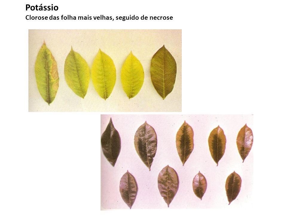 Potássio Clorose das folha mais velhas, seguido de necrose