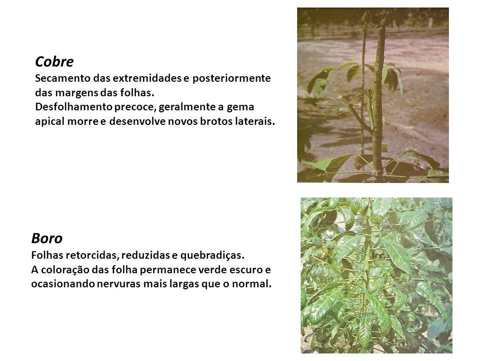Cobre Secamento das extremidades e posteriormente das margens das folhas.