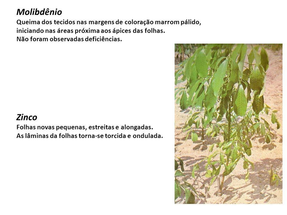 MolibdênioQueima dos tecidos nas margens de coloração marrom pálido, iniciando nas áreas próxima aos ápices das folhas.
