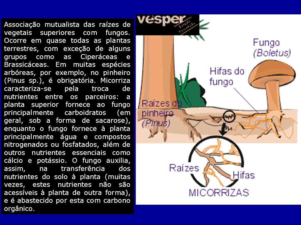 Associação mutualista das raízes de vegetais superiores com fungos