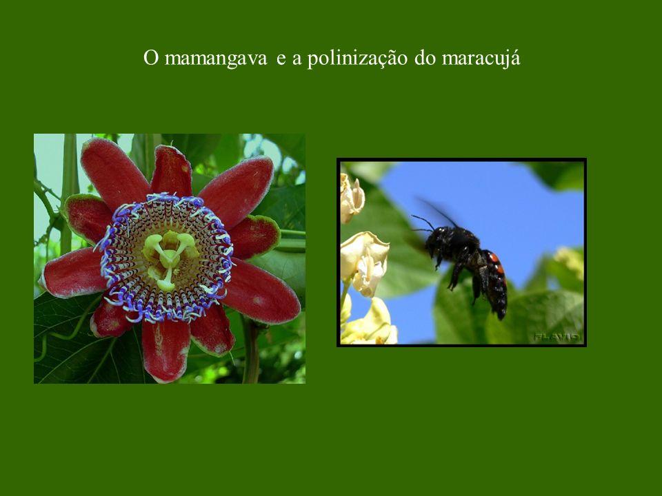 O mamangava e a polinização do maracujá