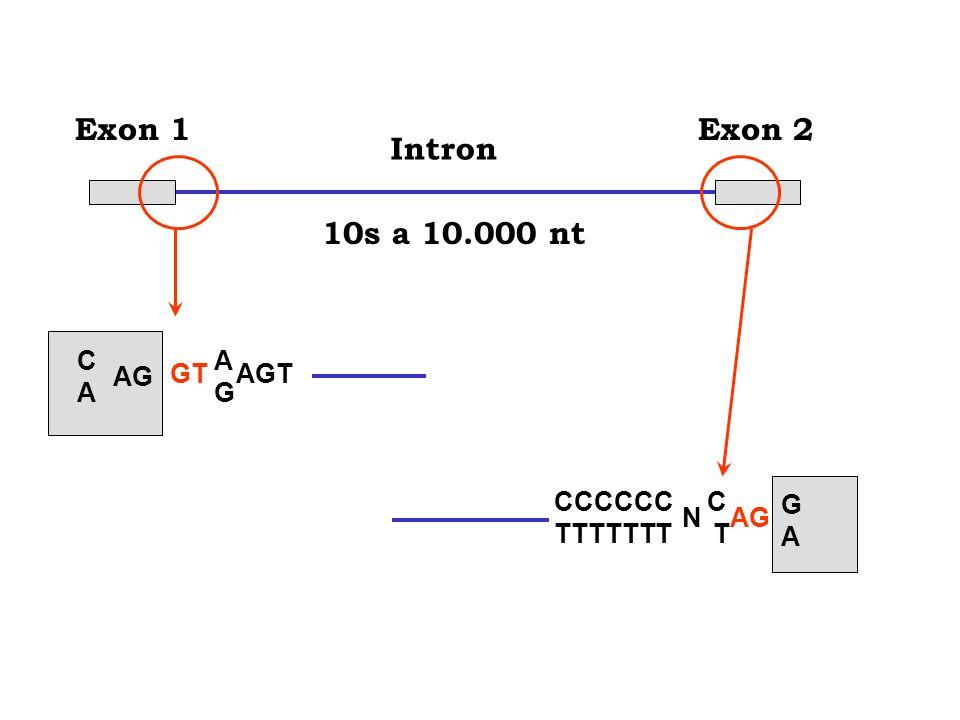 10s a 10.000 nt Exon 1 Exon 2 Intron C A AG GT AGT G CCCCCC C