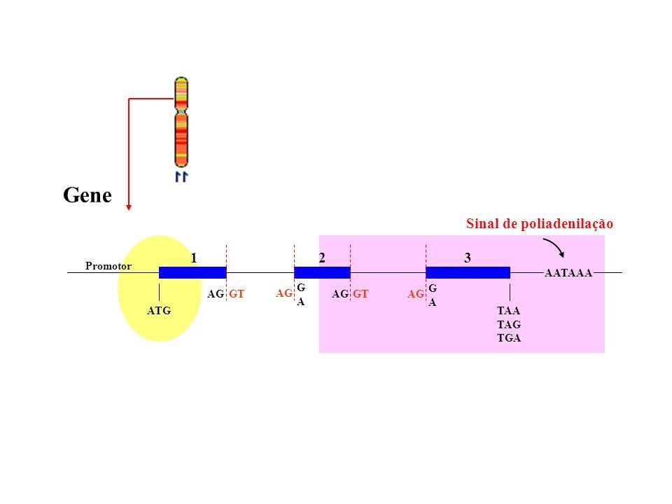 Gene Sinal de poliadenilação 1 2 3 Promotor AATAAA G A G A AG GT AG AG