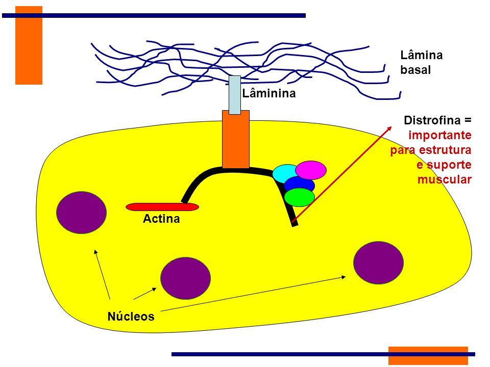 Lâmina basal Lâminina Distrofina = importante para estrutura e suporte muscular Actina Núcleos