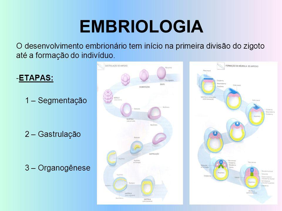 EMBRIOLOGIA O desenvolvimento embrionário tem início na primeira divisão do zigoto até a formação do indivíduo.
