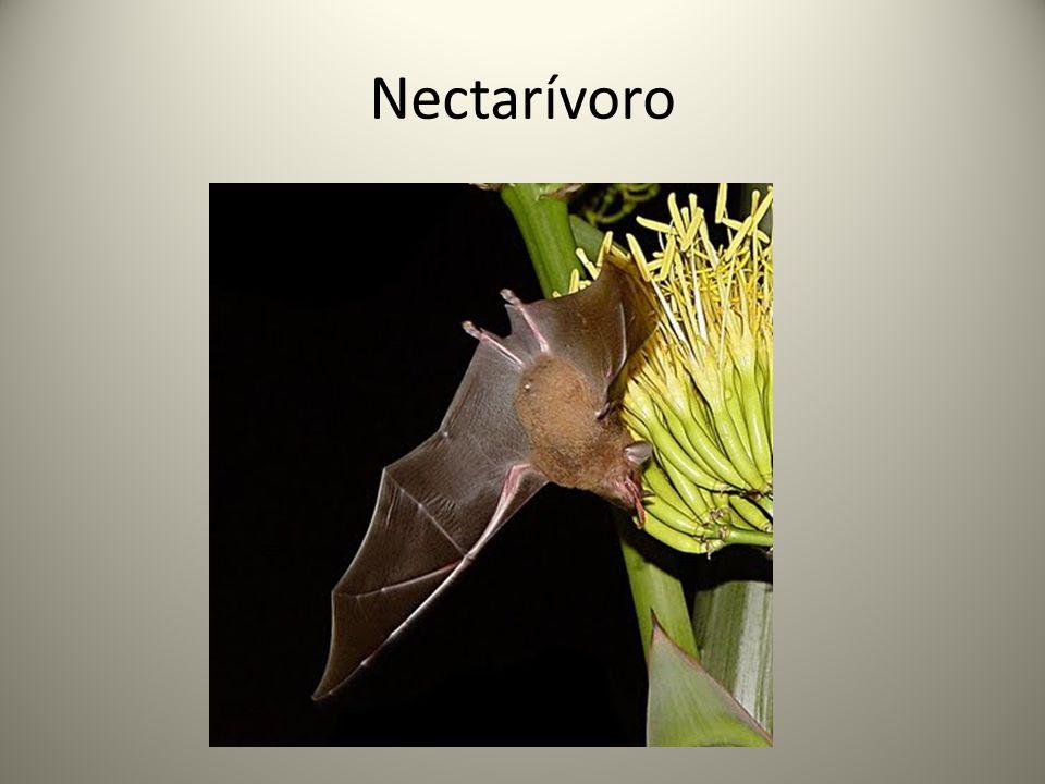 Nectarívoro