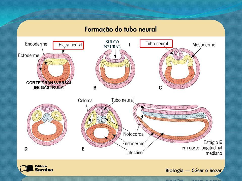 SULCO NEURAL CORTE TRANSVERSAL DE GÁSTRULA