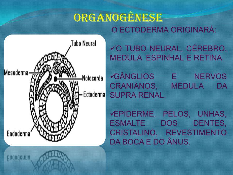 ORGANOGÊNESE O TUBO NEURAL, CÉREBRO, MEDULA ESPINHAL E RETINA.
