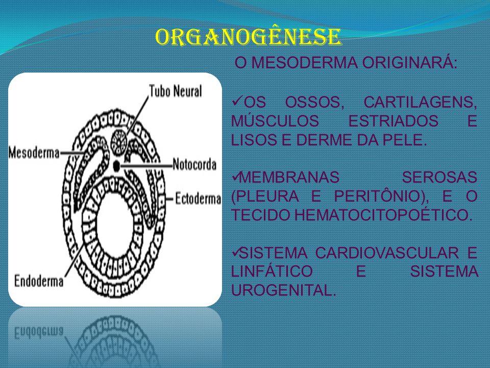ORGANOGÊNESE O MESODERMA ORIGINARÁ: OS OSSOS, CARTILAGENS, MÚSCULOS ESTRIADOS E LISOS E DERME DA PELE.