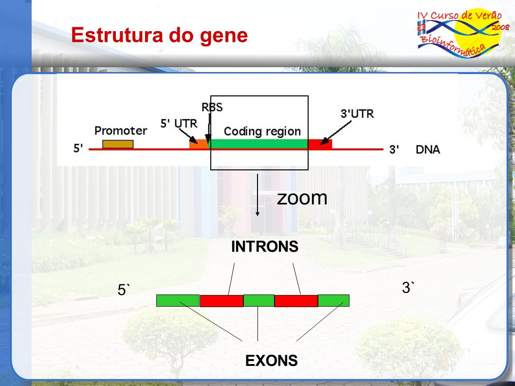 Estrutura do gene zoom 5` 3` EXONS INTRONS