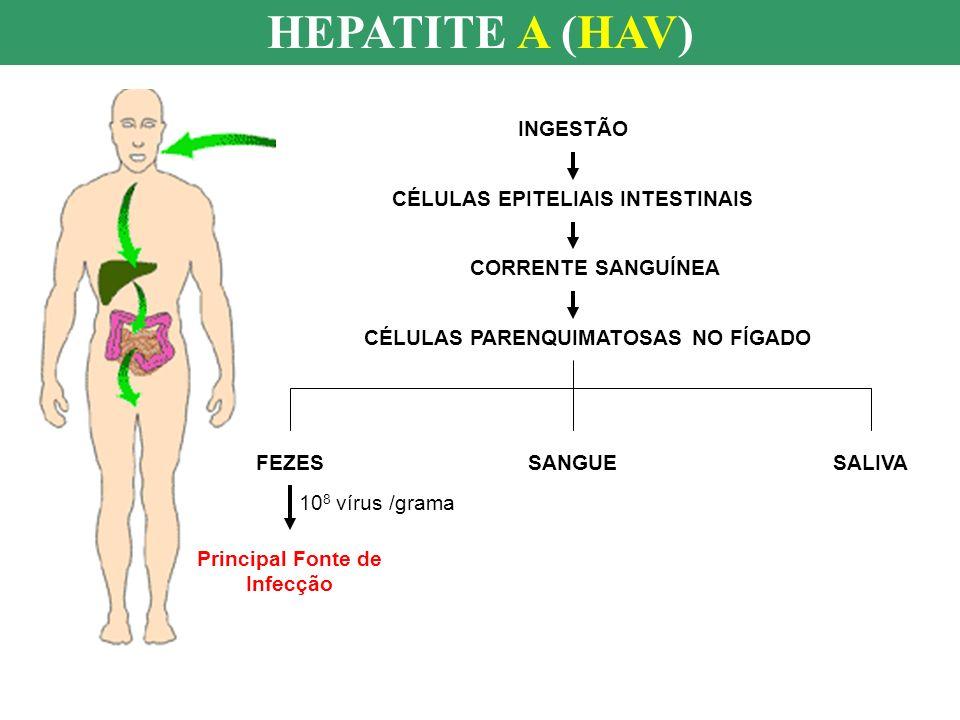HEPATITE A (HAV) INGESTÃO CÉLULAS EPITELIAIS INTESTINAIS