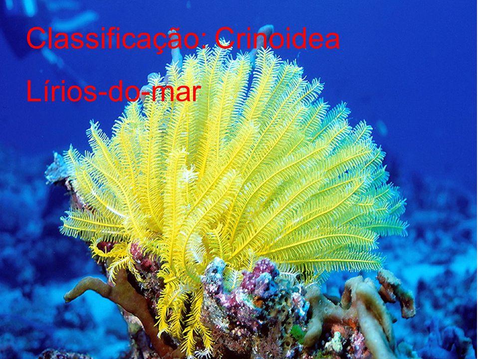 Classificação: Crinoidea