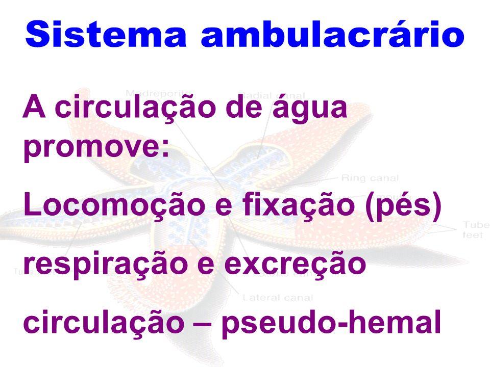 Sistema ambulacrário A circulação de água promove: