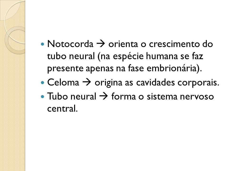 Notocorda  orienta o crescimento do tubo neural (na espécie humana se faz presente apenas na fase embrionária).