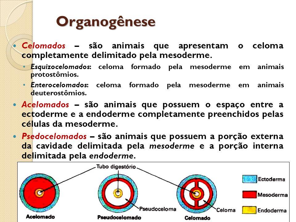 Organogênese Celomados – são animais que apresentam o celoma completamente delimitado pela mesoderme.