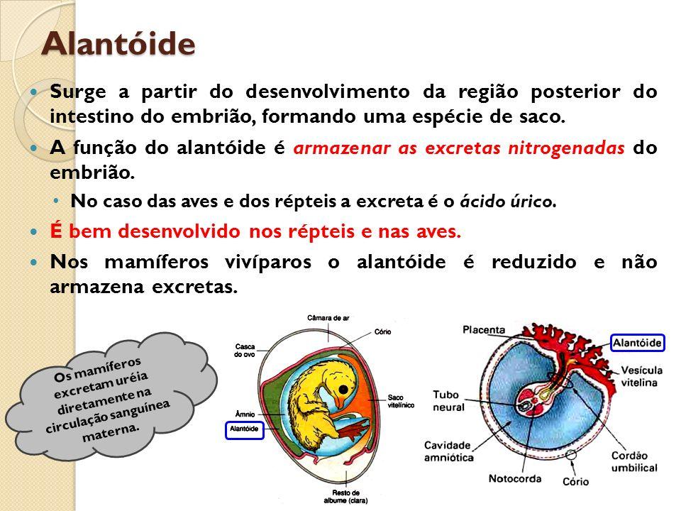 Alantóide Surge a partir do desenvolvimento da região posterior do intestino do embrião, formando uma espécie de saco.