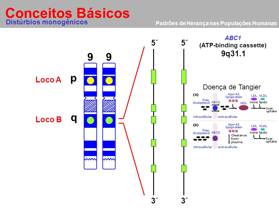 (ATP-binding cassette)
