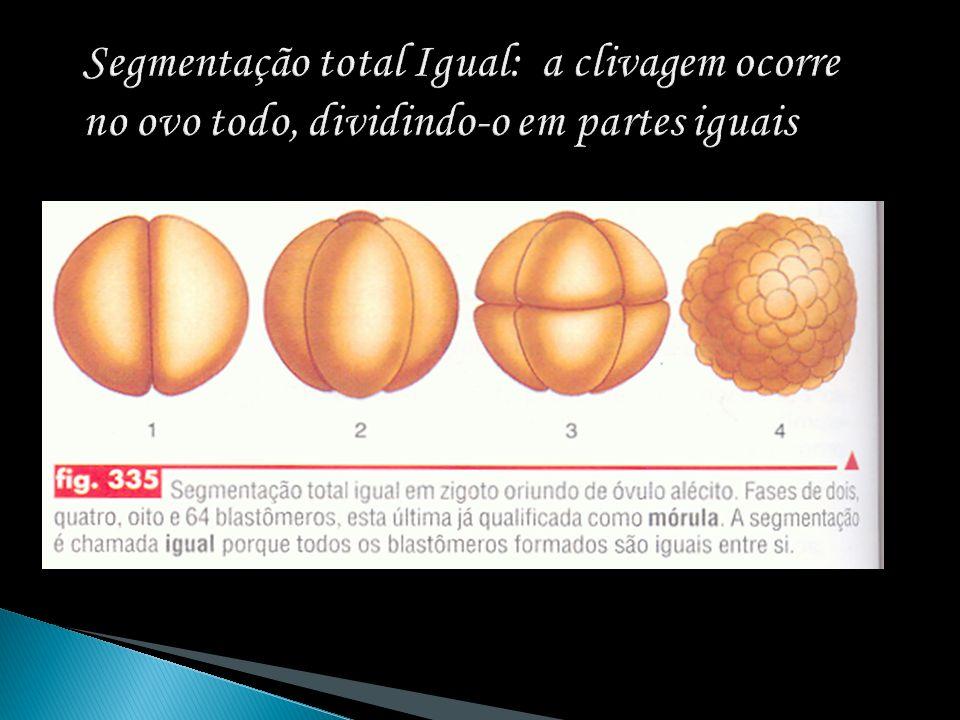 Segmentação total Igual: a clivagem ocorre no ovo todo, dividindo-o em partes iguais