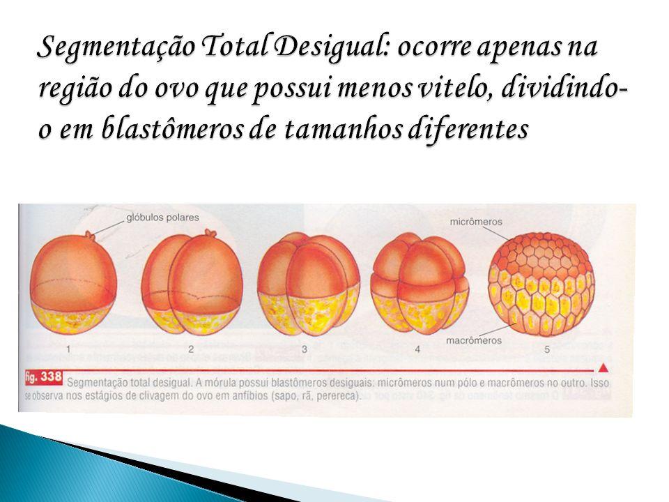 Segmentação Total Desigual: ocorre apenas na região do ovo que possui menos vitelo, dividindo-o em blastômeros de tamanhos diferentes