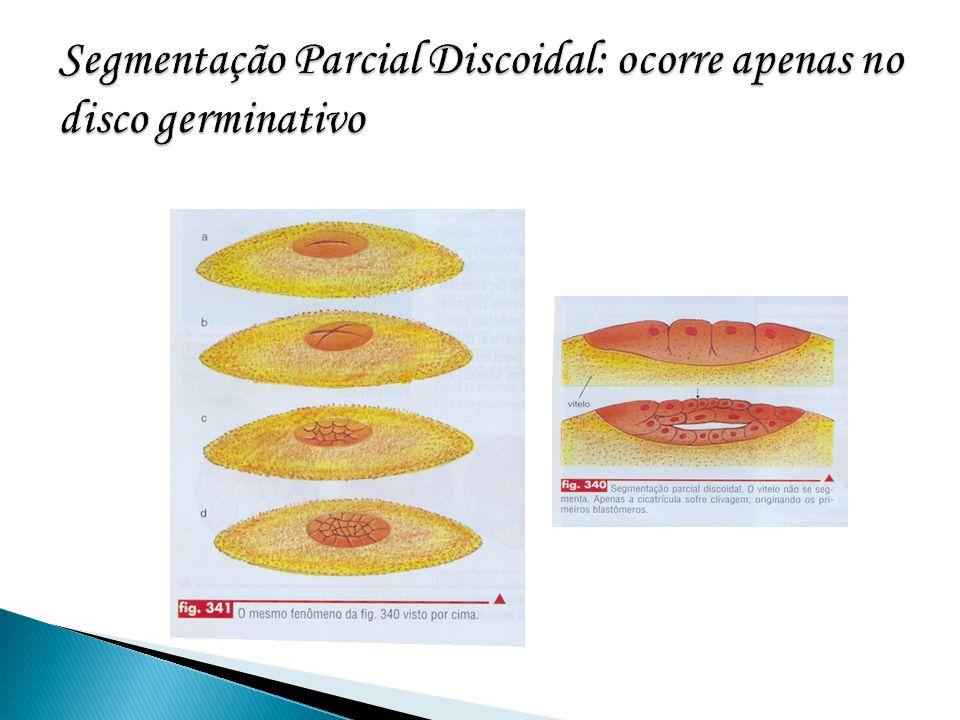 Segmentação Parcial Discoidal: ocorre apenas no disco germinativo