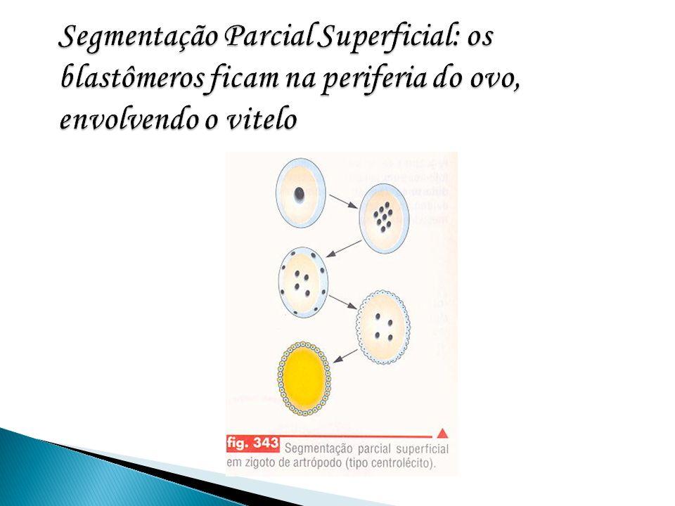 Segmentação Parcial Superficial: os blastômeros ficam na periferia do ovo, envolvendo o vitelo