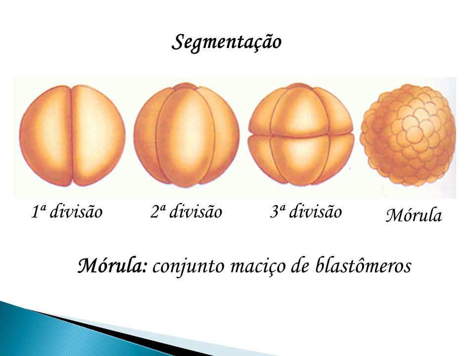 Mórula: conjunto maciço de blastômeros