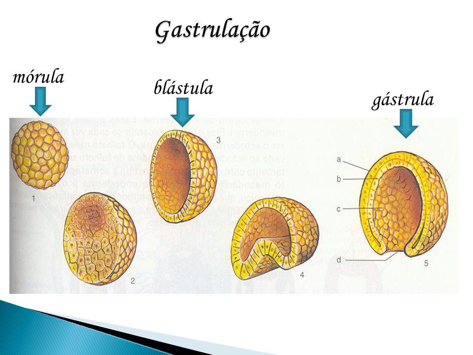 Gastrulação mórula blástula gástrula