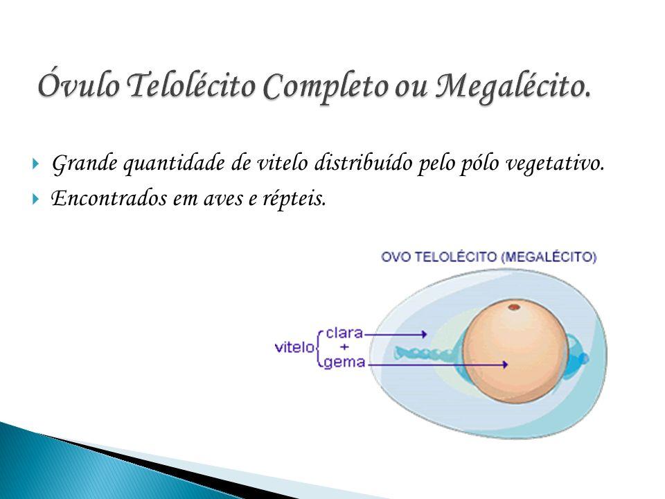 Óvulo Telolécito Completo ou Megalécito.