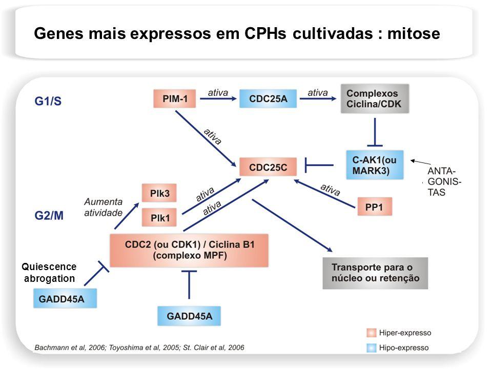 Genes mais expressos em CPHs cultivadas : mitose