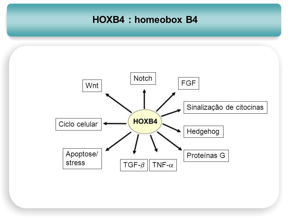 HOXB4 : homeobox B4 Notch FGF Wnt Sinalização de citocinas