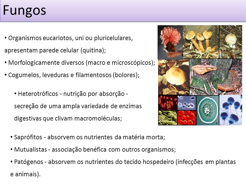 FungosOrganismos eucariotos, uni ou pluricelulares, apresentam parede celular (quitina); Morfologicamente diversos (macro e microscópicos);
