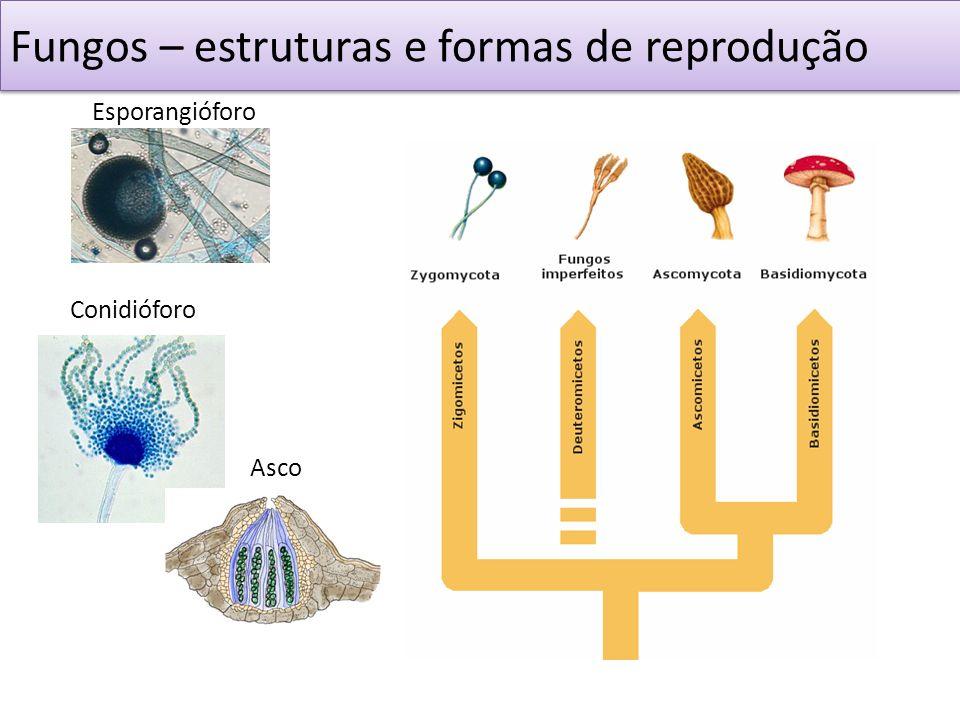 Fungos – estruturas e formas de reprodução