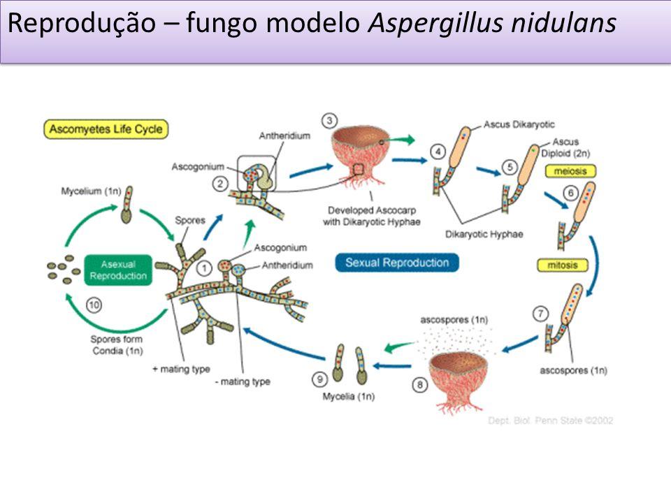 Reprodução – fungo modelo Aspergillus nidulans