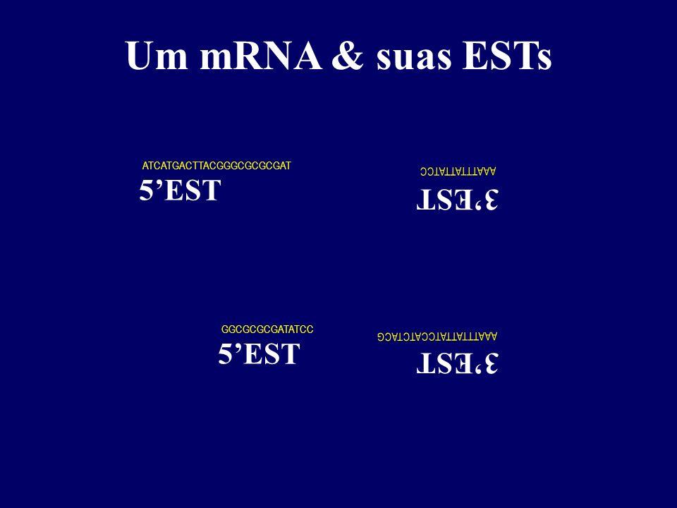 Um mRNA & suas ESTs 5'EST 3'EST 5'EST 3'EST mRNA ATG AUG cDNA (fita +)