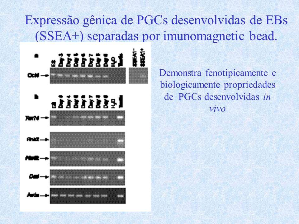 Expressão gênica de PGCs desenvolvidas de EBs (SSEA+) separadas por imunomagnetic bead.