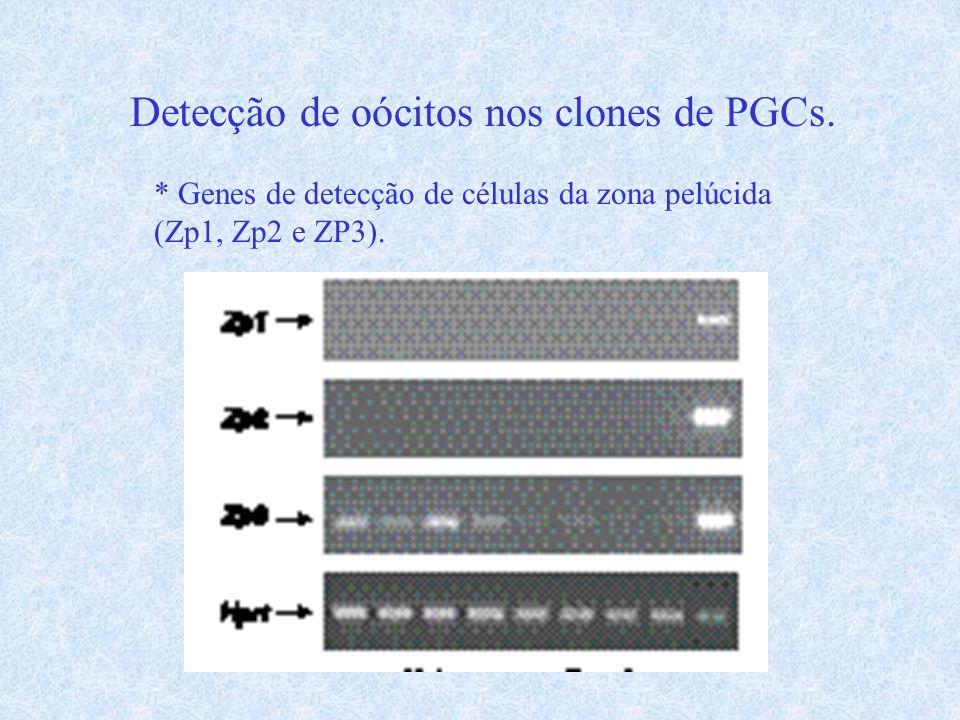 Detecção de oócitos nos clones de PGCs.