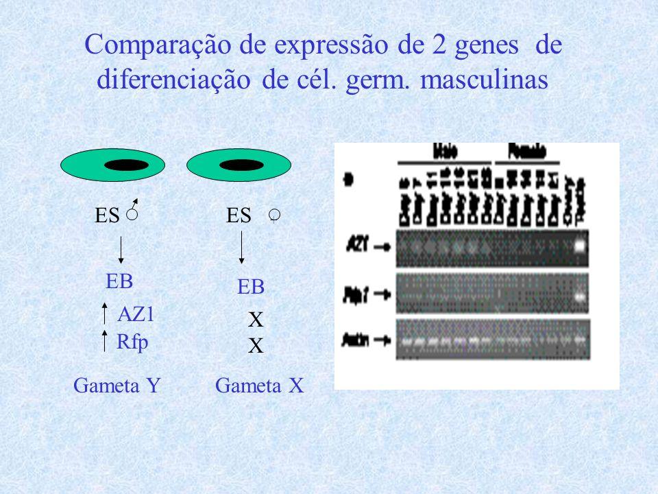 Comparação de expressão de 2 genes de diferenciação de cél. germ