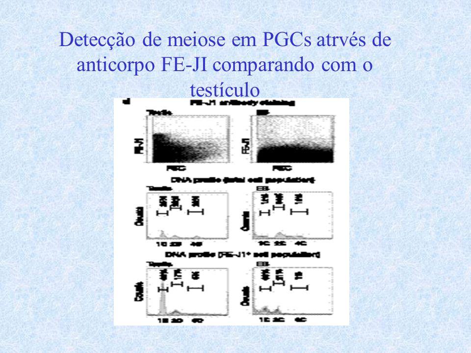 Detecção de meiose em PGCs atrvés de anticorpo FE-JI comparando com o testículo