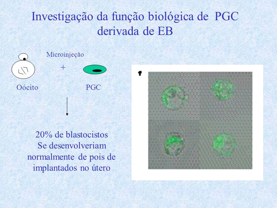 Investigação da função biológica de PGC derivada de EB