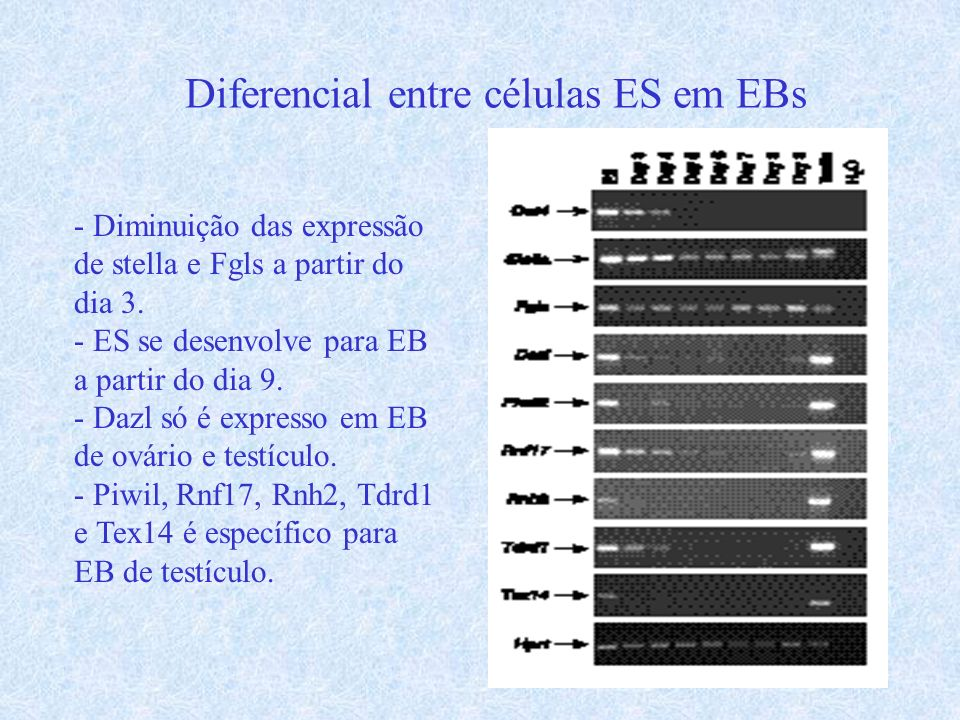 Diferencial entre células ES em EBs