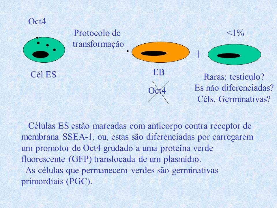 + Oct4 Protocolo de transformação <1% EB Cél ES Raras: testículo