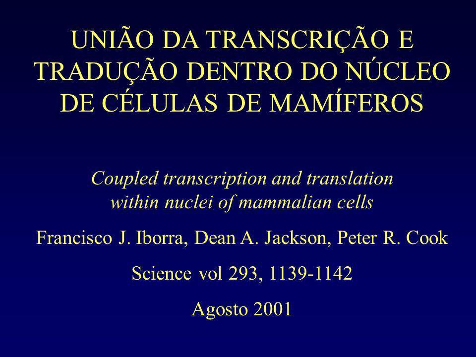 UNIÃO DA TRANSCRIÇÃO E TRADUÇÃO DENTRO DO NÚCLEO DE CÉLULAS DE MAMÍFEROS
