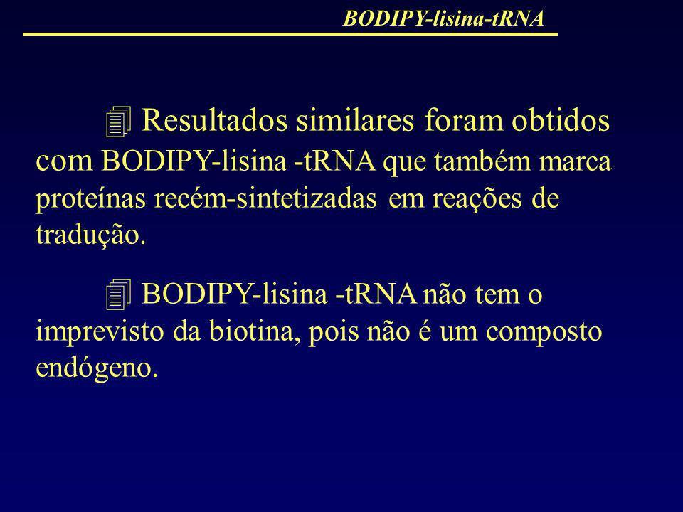 BODIPY-lisina-tRNA  Resultados similares foram obtidos com BODIPY-lisina -tRNA que também marca proteínas recém-sintetizadas em reações de tradução.